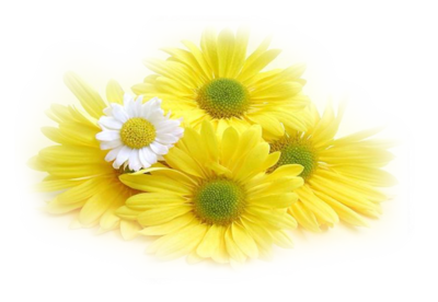 Yellow Daisy Png Index of /users/tbalze...